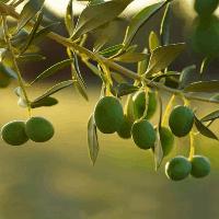 rosnąca roslina jojoby przy zachodzie słońca
