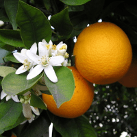 gorzkie drzewo pomarańczowe