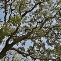 balsamowiec drzewo żywica