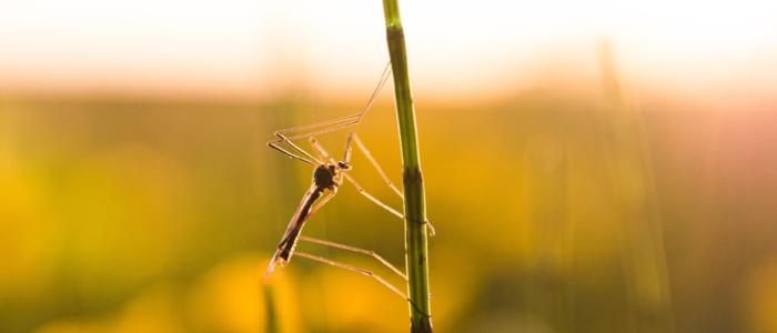 komar na łące